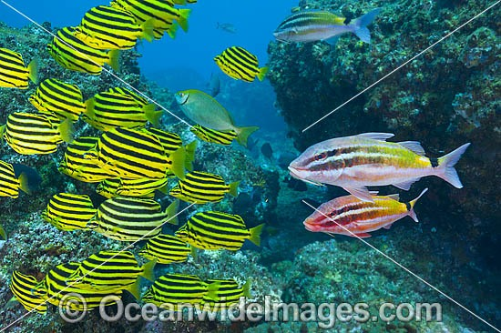 Schooling Stripey (Microcanthus strigatus), also known as Footballer, and Black-spot Goatfish (Parupeneus signattus). Photo was taken at Solitary Islands, near Coffs Harbour, NSW, Australia.