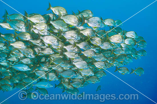 Schooling Tarwhine (Rhabdosargus sarba). Also known as Silver Bream. Found along the east coast of Australia. Photo taken at the Solitary Islands, Coffs Harbour, New South Wales, Australia.