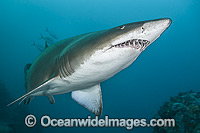 Grey Nurse Shark Australia Photo - Gary Bell