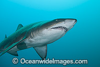 Grey Nurse Shark Solitary Islands Photo - Gary Bell