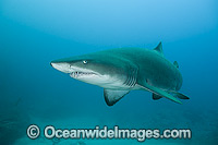 Sand Tiger Shark Photo - Gary Bell