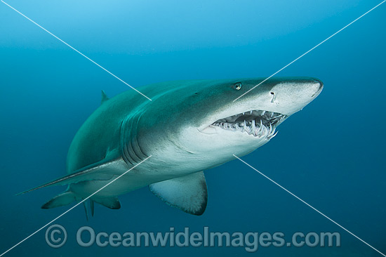 Grey Nurse Shark (Carcharias taurus). Known as Grey Nurse Shark (Australia), Sand Tiger Shark (USA) and Ragged-tooth Shark (South Africa). Photo taken at Solitary Islands, NSW, Australia. Classified as Vulnerable on IUCN Red List. Protected in Australia. Photo - Gary Bell