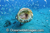 Atlantic Goliath Grouper with Baitfish photo