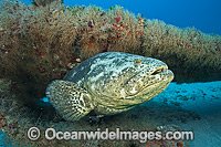 Atlantic Goliath Grouper on Shipwreck photo