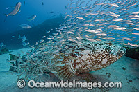 Goliath Grouper with Baitfish photo
