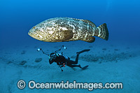 Diver and Atlantic Goliath Grouper Photo - MIchael Patrick O'Neill