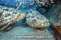 Atlantic Goliath Grouper and Cigar Minnows photo