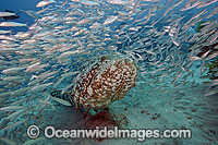 Goliath Grouper Palm Beach photo