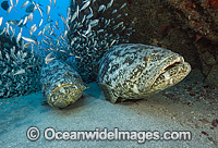 Atlantic Goliath Grouper Florida photo