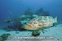 Atlantic Goliath Grouper on Zion Shipwreck photo
