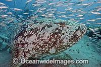Goliath Grouper with Baitfish Photo - MIchael Patrick O'Neill
