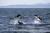 Pacific White-sided Dolphins Photo - Michael Patrick O'Neill