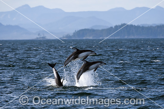 Pacific White-sided Dolphin photo