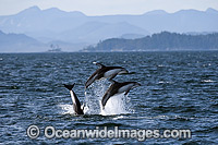 Pacific White-sided Dolphin Photo - Michael Patrick O'Neill