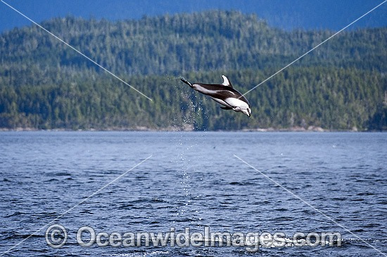 Pacific White-sided Dolphin (Lagenorhynchus obliquidens), breaching. Also known as Lag. Photo was taken near Johnstone Strait, British Columbia, Canada. Photo - Michael Patrick O'Neill
