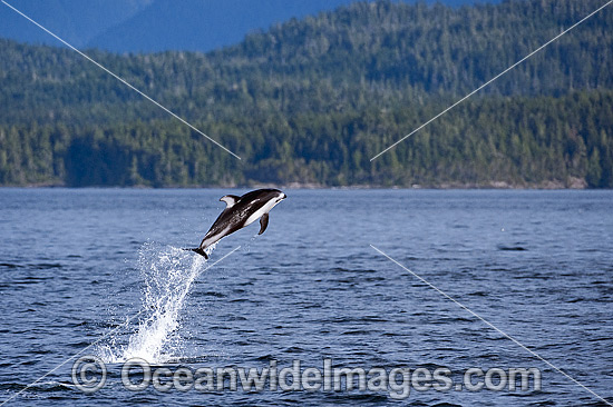 Pacific White-sided Dolphin (Lagenorhynchus obliquidens), breaching. Also known as Lag. Photo was taken near Johnstone Strait, British Columbia, Canada.