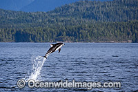 Pacific White-sided Dolphin breaching Photo - Michael Patrick O'Neill