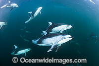 Pacific White-sided Dolphin pod underwater Photo - Michael Patrick O'Neill