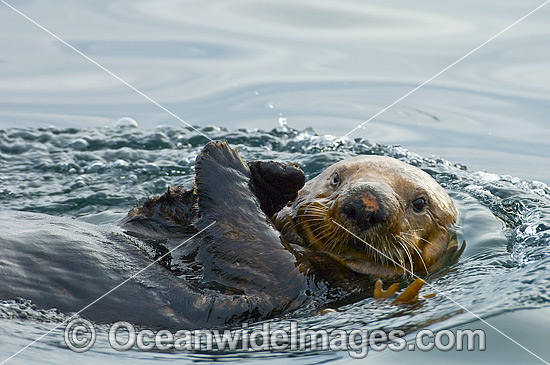 Southern Sea Otter (Enhydra lutris), large male resting on the surface. Vancouver Island, British Columbia, Canada. Listed as Endangered on the IUCN Red List.