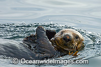 Sea Otter on surface stock photo