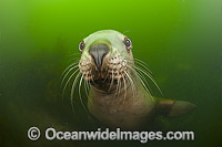 Steller Sea Lion underwater Photo - Michael Patrick O'Neill