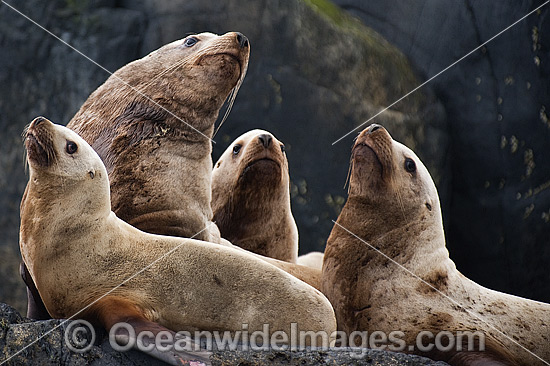 Steller Sea Lions (Eumetopias jubatus). Also known as Northern Sea Lion and Stellar Sea Lion. Photo taken at an island north of Vancouver Island, British Columbia, Canada. Classified as Endangered Species on the IUCN Red List.