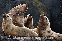 Steller Sea Lions Photo - Michael Patrick O'Neill