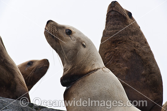 Steller Sea Lion (Eumetopias jubatus), suffering from fishing line caught around neck. Also known as Northern Sea Lion and Stellar Sea Lion. Photo taken north of Vancouver Island, British Columbia, Canada. Classified as Endangered Species on IUCN Red List Photo - Michael Patrick O'Neill