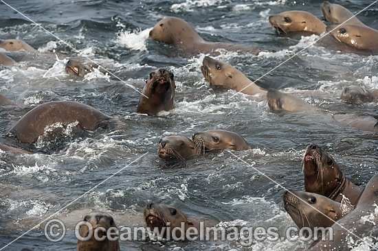 Steller Sea Lions (Eumetopias jubatus), playing in the shallows. Also known as Northern Sea Lion and Stellar Sea Lion. Photo taken at an island north of Vancouver Island, British Columbia, Canada. Classified as Endangered Species on the IUCN Red List. Photo - Michael Patrick O'Neill
