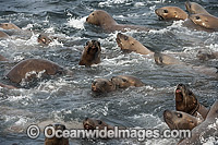 Steller Sea Lions playing in water Photo - Michael Patrick O'Neill
