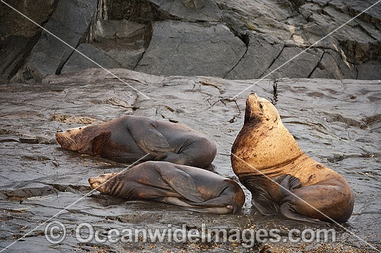 Steller Sea Lions (Eumetopias jubatus), resting on a rocky shoreline. Also known as Northern Sea Lion and Stellar Sea Lion. Photo taken at an island north of Vancouver Island, British Columbia, Canada. Classified as Endangered Species on IUCN Red List.