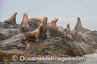 Steller Sea Lion on rocks Photo - Michael Patrick O'Neill
