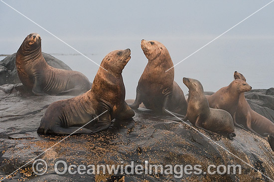 Steller Sea Lion on rocks photo