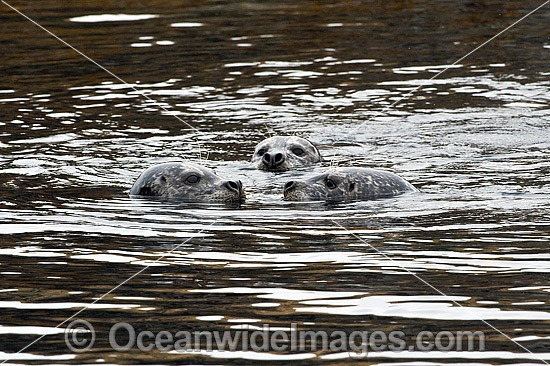Harbor Seals or Common Seals (Phoca vitulina), resting in the shallows of Quadra Island, British Columbia, Canada. Alternative spelling: Harbour seal.