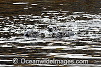 Harbor Seals Canada photo