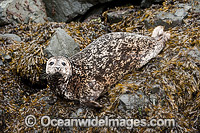 Harbor Seal Quadra Island photo