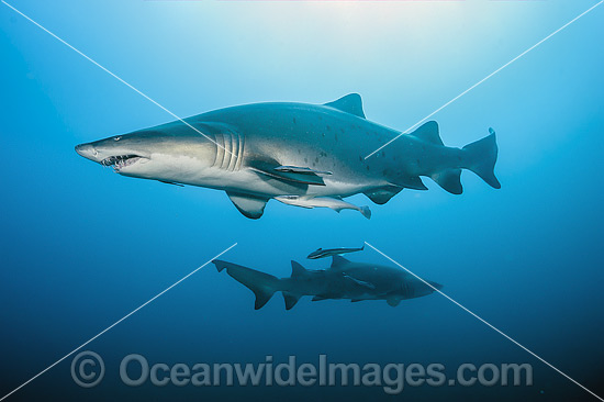 Sand Tiger Shark (Carcharias taurus). Also known as Ragged-tooth Shark in South Africa and Grey Nurse Shark in Australia. Photo taken off North Carolina, USA. Classified as Vulnerable on the IUCN Red List of Threatened Species. Photo - Michael Patrick O'Neill