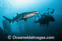 Sand Tiger Shark and Photographer Photo - Michael Patrick O'Neill
