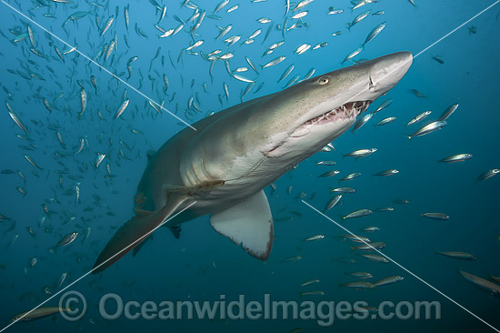 Sand Tiger Shark (Carcharias taurus), amongst baitfish. Also known as Ragged-tooth Shark in South Africa and Grey Nurse Shark in Australia. Photo taken off North Carolina, USA. Classified as Vulnerable on the IUCN Red List of Threatened Species. Photo - Michael Patrick O'Neill