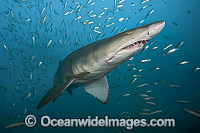 Sand Tiger Shark Photo - Michael Patrick O'Neill