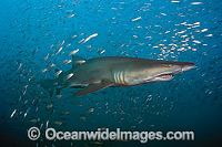 Sand Tiger Shark and baitfish Photo - Michael Patrick O'Neill