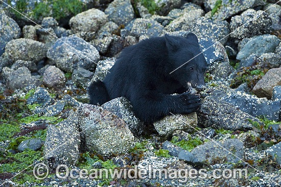 Black Bear (Ursus americanus vancouveri), searching for food at low tide along the beach in Clayoquot Sound, a UNESCO World Biosphere Reserve located near Tofino in the western coast of Vancouver Island, Bristish Columbia, Canada. Photo - Michael Patrick O'Neill