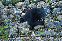 Black Bear in Clayoquot Sound Photo - Michael Patrick O'Neill