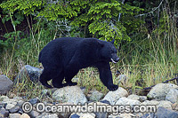 Black Bear Ursus americanus vancouveri Photo - Michael Patrick O'Neill
