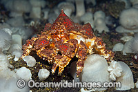 Puget Sound King Crab Photo - Michael Patrick O'Neill