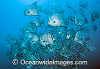 Atlantic Spadefish Chaetodipterus faber photo