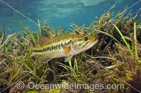 Large-mouth Bass (Micropterus salmoides), male protecting his nest in the Rainbow River in Northwest Florida, United States.