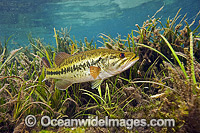Large-mouth Bass protecting nest image