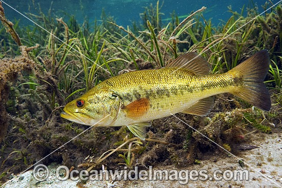 Large-mouth Bass (Micropterus salmoides), male protecting his nest in the Rainbow River in Northwest Florida, United States. Photo - Michael Patrick O'Neill