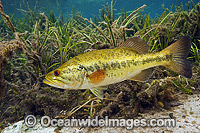 Large-mouth Bass in Rainbow River image